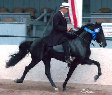 Elixir - Rocky Mountain Horse/ Kentucky Mountain Horse stallion at stud